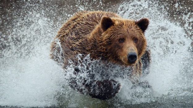 bear-running-hd-desktop-wallpaper-624x351